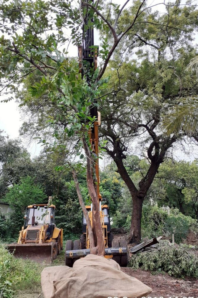 Tree transplantation in Vadodara area
