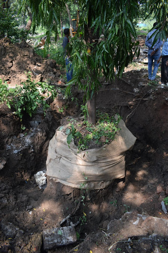 Tree transplantation under process in Vadodara district